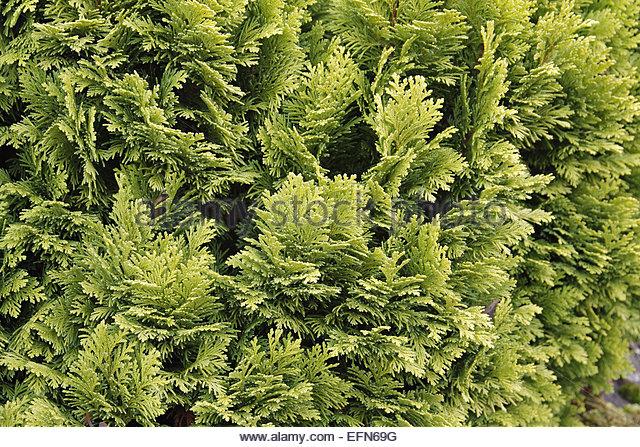 Chamaecyparis lawsoniana 'Minima Aurea' AGM - Stock Image