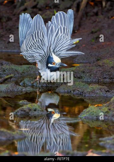 Yellow-crowned Night Heron courting display - Stock Image