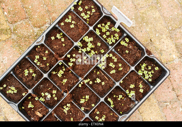 Rutabaga seedlings - Stock Image