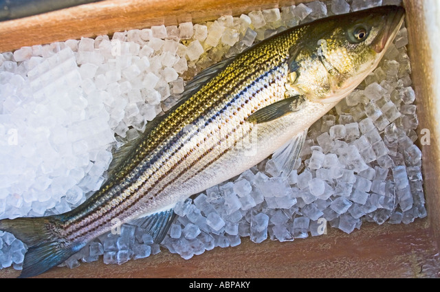 how to catch striped bass from boat
