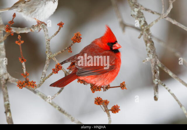 A male northern cardinal, Cardinalis cardinalis, perched on a budding maple tree branch. - Stock-Bilder