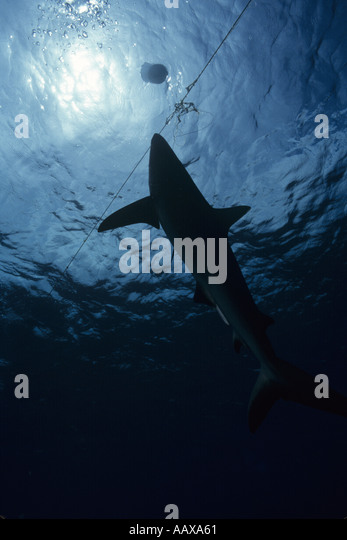 grey reef shark caught on longline by Asian fishing boat - Stock Image