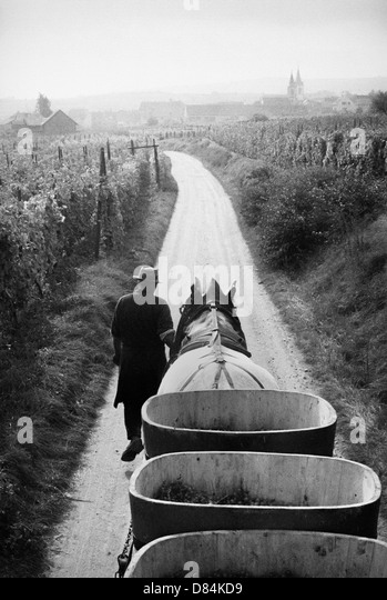 1963 Horse-drawn trailer with grape crop Alsace France - Stock Image