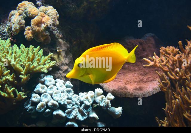 Yellow tang zebrasoma flavescens stock photos yellow for Popular saltwater fish