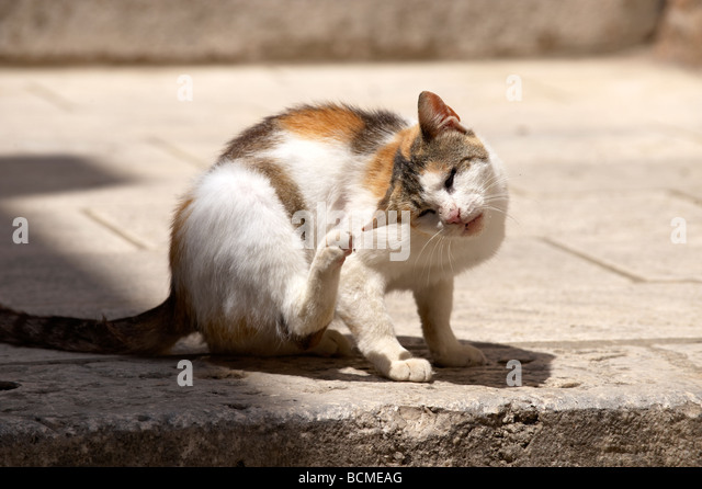 Alley cat in the streets of Dubrovnik - Croatia - Stock Image