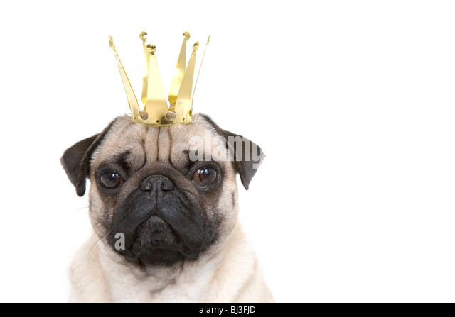 Young pug with crown, portrait - Stock Image