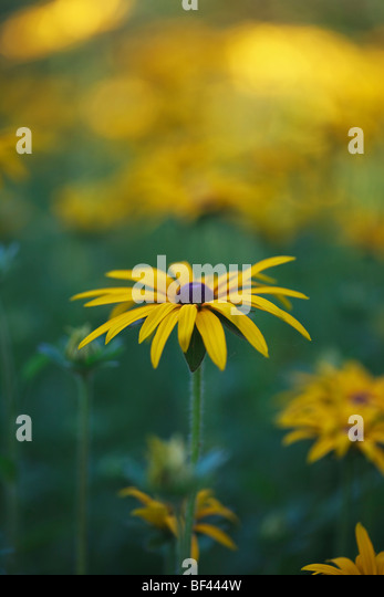 Rudbeckia in soft summer sunshine - Stock Image