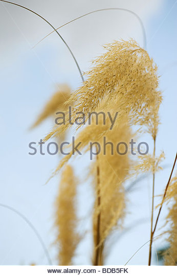 Cortaderia richardii. Toe Toe Grass - Stock Image