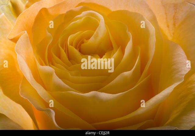 Yellow rose close-up as romantic flower - Stock-Bilder
