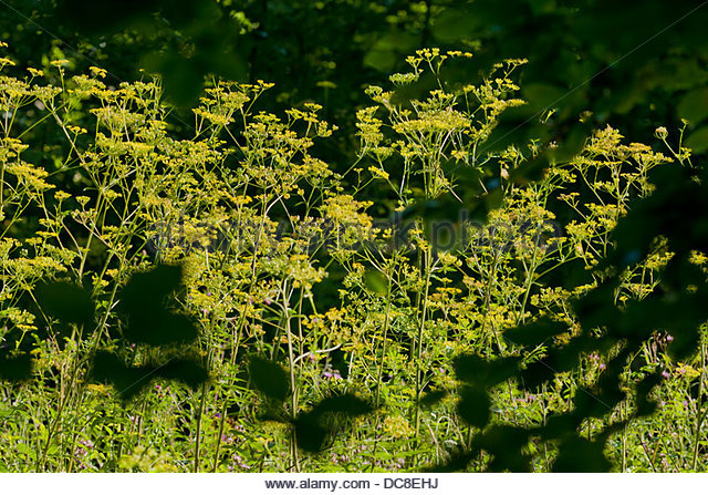 Wild Parsnip Pastinaca sativa native flower flowers biennial summer woodland edge meadow field yellow August garden - Stock Image