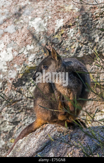 Brush-tailed Rock Wallaby or small-eared rock-wallaby (Petrogale penicillata) and endangered Australian native animal. - Stock-Bilder