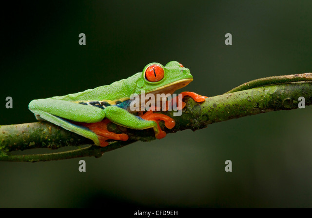 Red-eyed Tree Frog perched on a branch in Costa Rica. - Stock Image