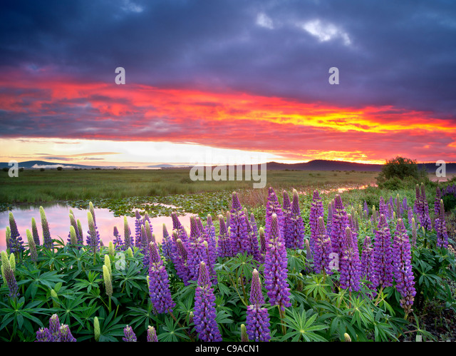 Lupine and sunrise in the Klamath Marsh National Wildlife Refuge, Oregon - Stock Image