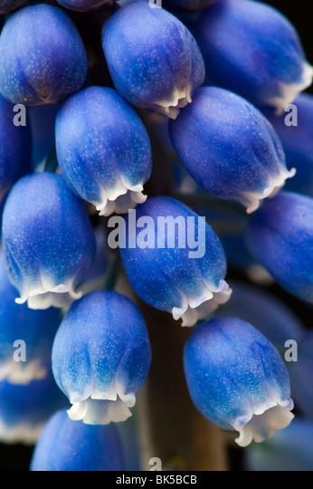 Grape Hyacinths on black background - Stock-Bilder