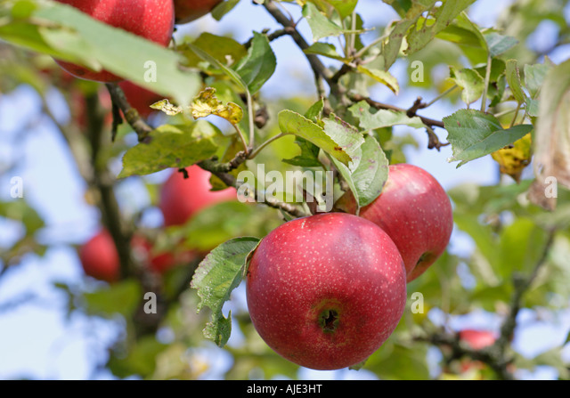 Apple tree These are organic apples - Stock Image