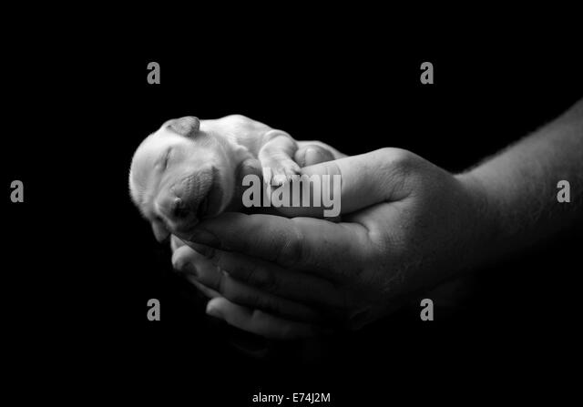 Holding newborn labrador puppy in hands - Stock Image