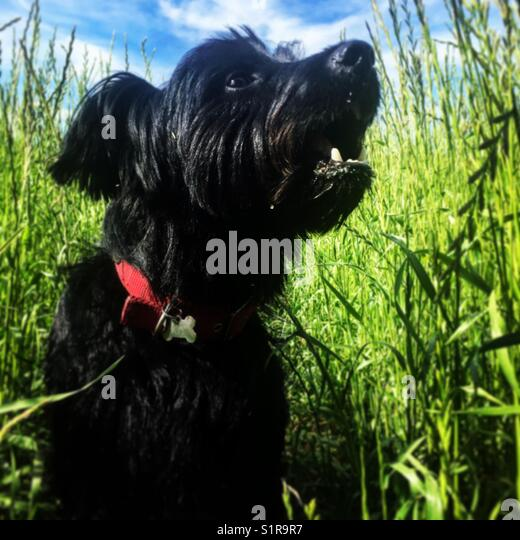 My rescue dog Jack taking a walk in an Essex meadow during the summer. - Stock Image