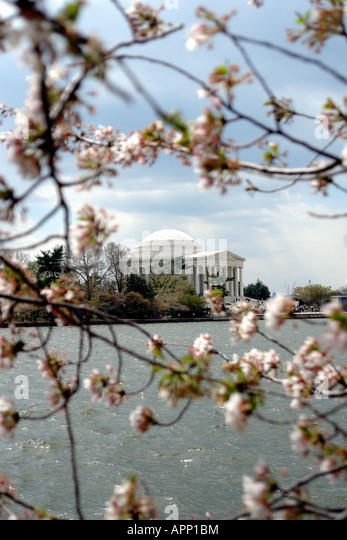 Cherry Blossoms and The Jefferson Memorial Tidal Basin Washington DC USA - Stock Image