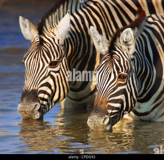 Close-up of two zebras drinking water; Etosha - Stock Image