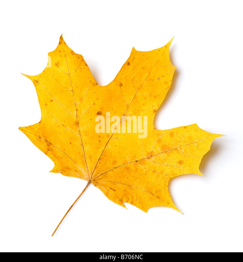 yellow maple leaf over white background - Stock Image