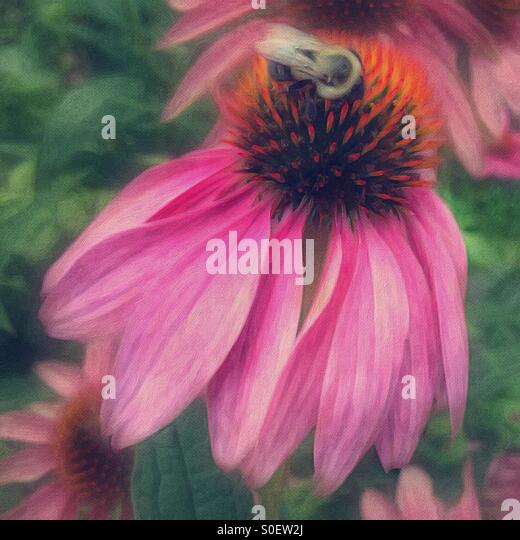Bee collecting nectar from a coneflower. - Stock Image