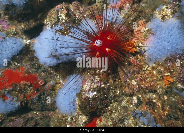 Exquisite urchin Diadema palmeri Seasonal blue tunicate Pycnoclavellina Encrusting fauna Underwater White Island - Stock Image