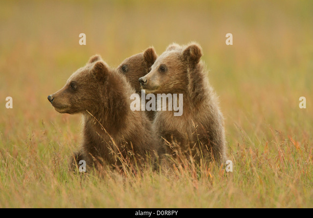 Triplet Brown or Grizzly Bear spring cubs, Lake Clark National Park, Alaska. - Stock Image