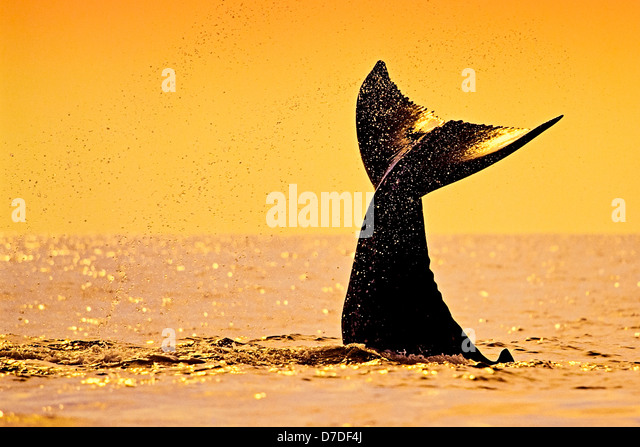 Fluke of Humpback Whale, Megaptera novaeangliae, Hawaii, USA - Stock-Bilder