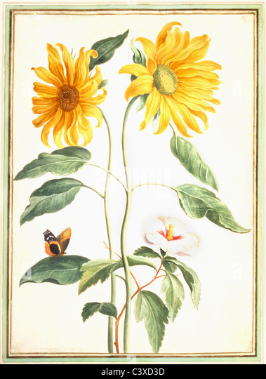 Sunflowers and Mallow, by Johan Jakob Walther. Germany, 17th century - Stock-Bilder