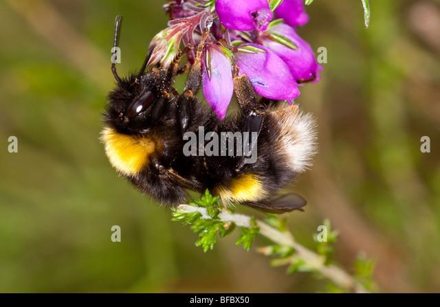 Broken-belted bumblebee, Bombus soroeensis, gathering nectar from Bell Heather - Stock Image