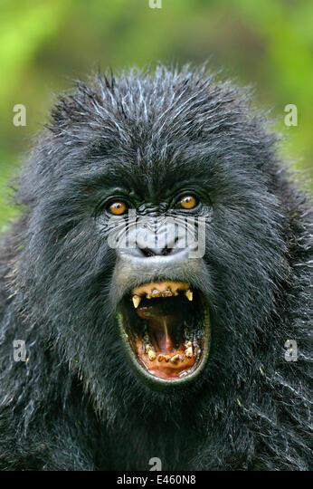 Gorilla Mouth Gorilla Gorilla Fighti...