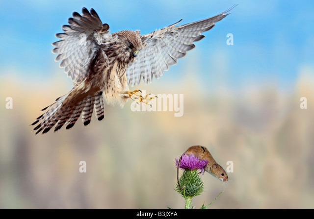 Kestrel Falco tinnunculus about to take Harvest mouse Potton Bedfordshire - Stock-Bilder