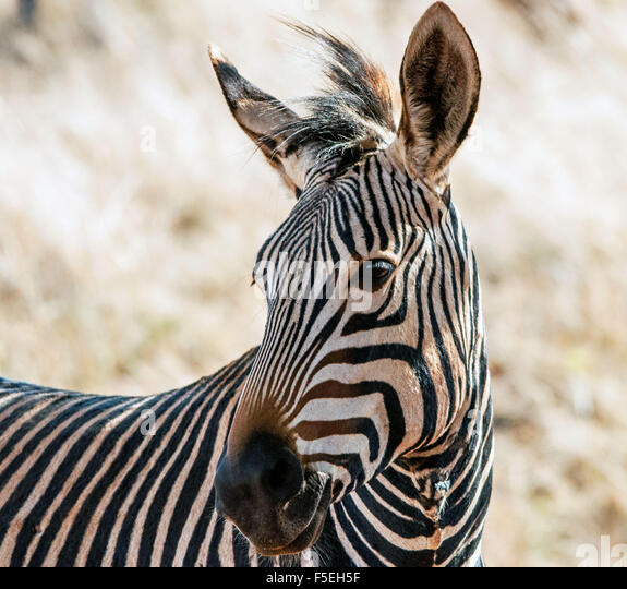 Portrait of a Zebra, South Africa - Stock Image