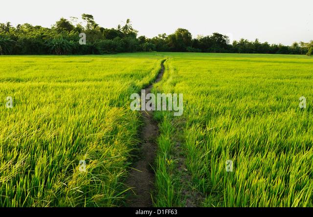 Rice fields, Polonnaruwa, Sri Lanka, Asia - Stock Image