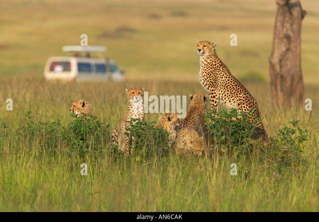 Safari jeep with Cheetah (Acinonyx jubatus) mother and cubs, in the grass, Masai Mara, Kenya - Stock Image