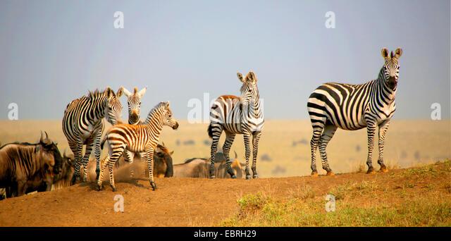 Common Zebra (Equus quagga), herd with young animal, Tanzania, Serengeti National Park - Stock Image