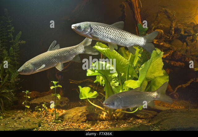 Ctenopharyngodon stock photos ctenopharyngodon stock for White amur fish