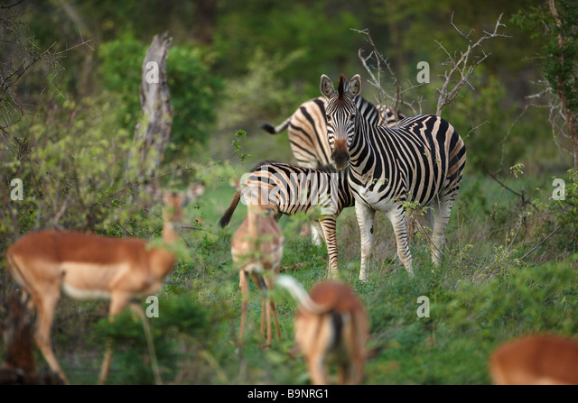 impala and zebra in the bush, Kruger National Park, South Africa - Stock Image