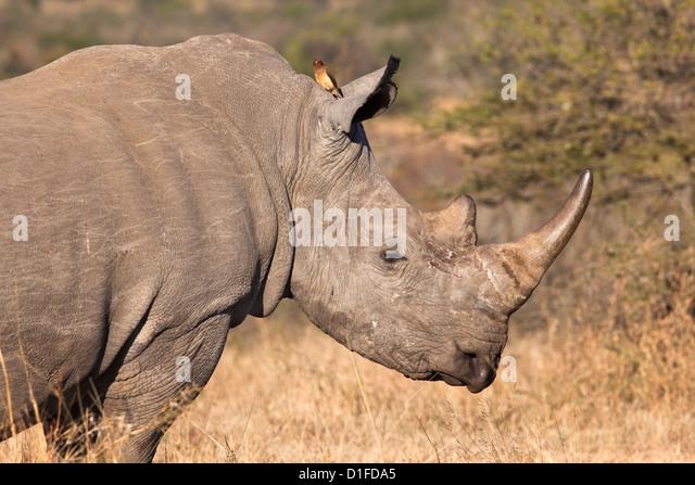 White rhino (Ceratotherium simum), Imfolozi game reserve, KwaZulu-Natal, South Africa, Africa - Stock Image