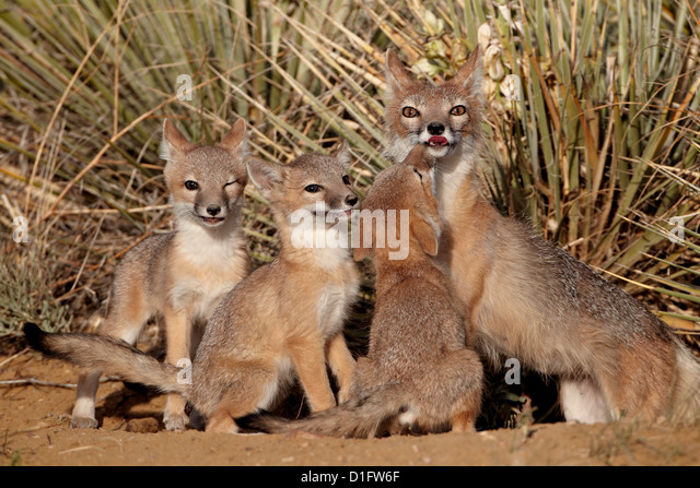 Swift fox (Vulpes velox) vixen and three kits at their den, Pawnee National Grassland, Colorado, United States of - Stock Image