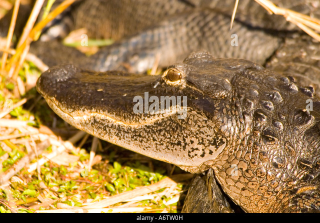 American alligator head portrait closeup animal smiling nature detail - Stock Image