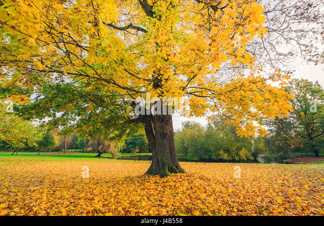 Large tree in a park in autumn with yellow autumn maple leaves covering the ground in the fall - Stock Image
