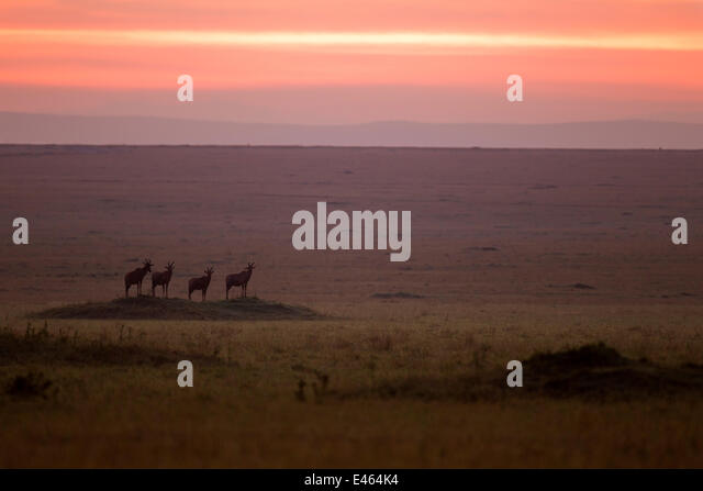Topi (Damaliscus lunatus jimela) small herd standing on grass mound at sunrise, Masai Mara National Reserve, Kenya, - Stock Image