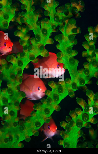 Jewel fairy basslet lyretail anthias hide in coral Pseudanthias squamipinnis Komodo Flores Sea Indonesia - Stock-Bilder
