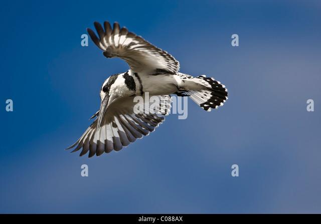 Pied Kingfisher, Masai Mara, Kenya - Stock Image