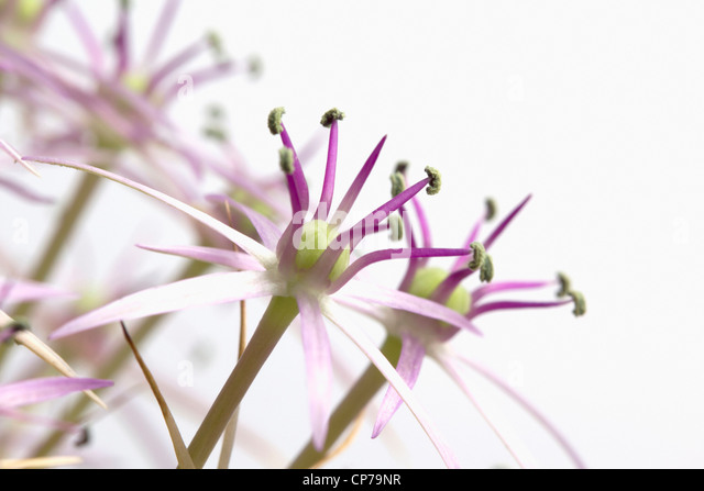 Allium christophii, Allium, Purple, White. - Stock Image