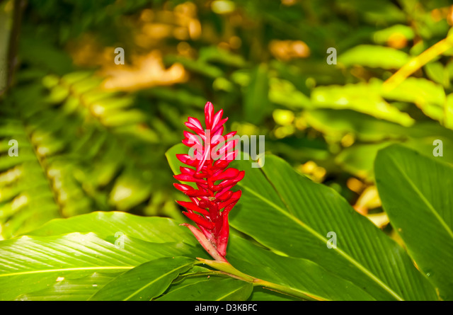 Red ginger flower, tropical plant, also called Ostrich Plume and Pink Cone Ginger - Stock Image
