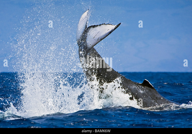 Humpback Whale Peduncle Throw - Stock Image