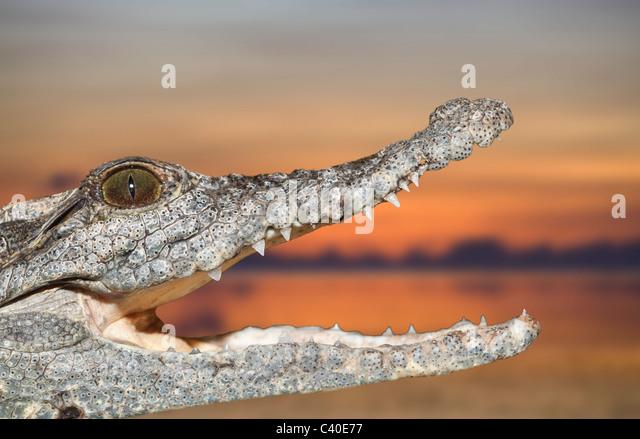 Nile Crocodile, Crocodylus niloticus, Abu Simbel, Egypt - Stock Image