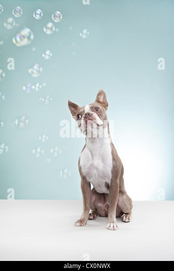 Boston terrier mesmerized by bubbles - Stock Image
